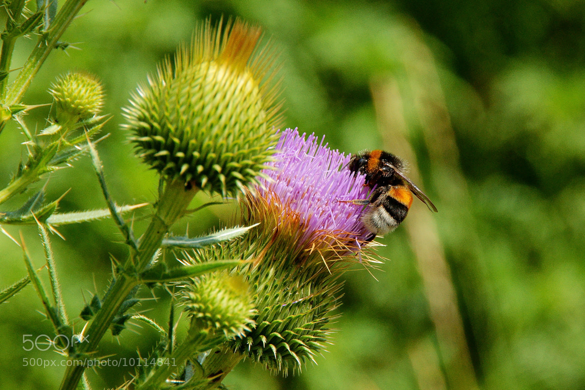 Photograph Flower and bee by Grigory Nesvetaev on 500px