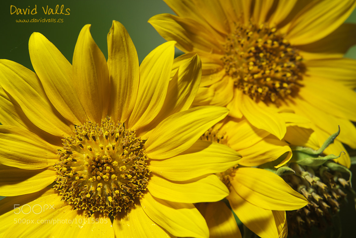 Photograph Girasoles by David Valls on 500px