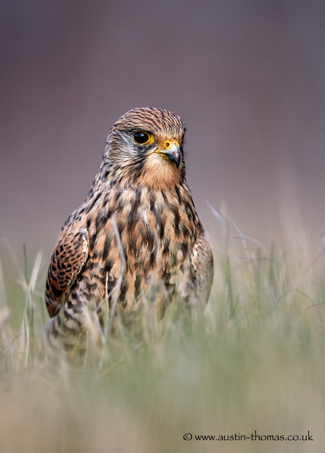A wild Common Kestrel