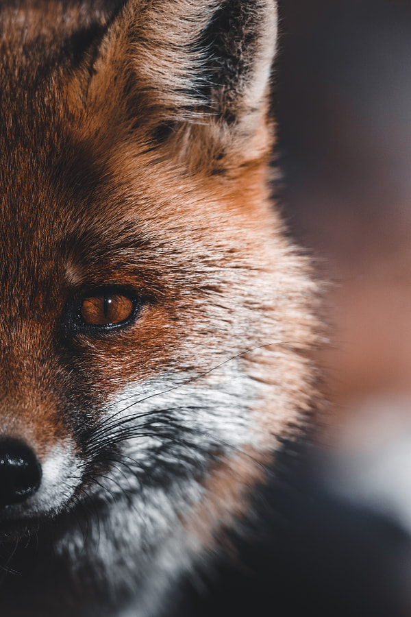 Fox Portrait by Anskar Lenzen on 500px.com