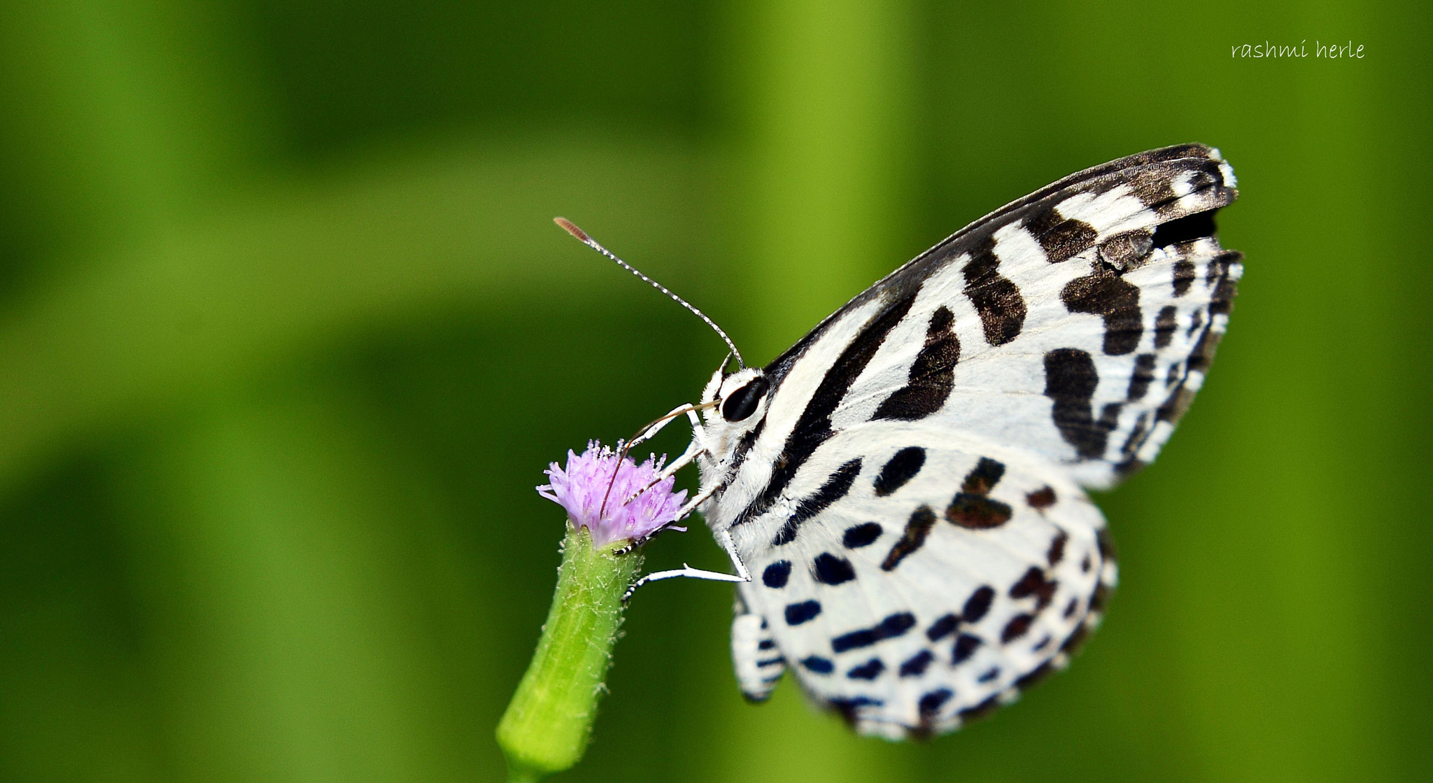 Photograph  Common pierrot butterfly by Rashmi Herle on 500px