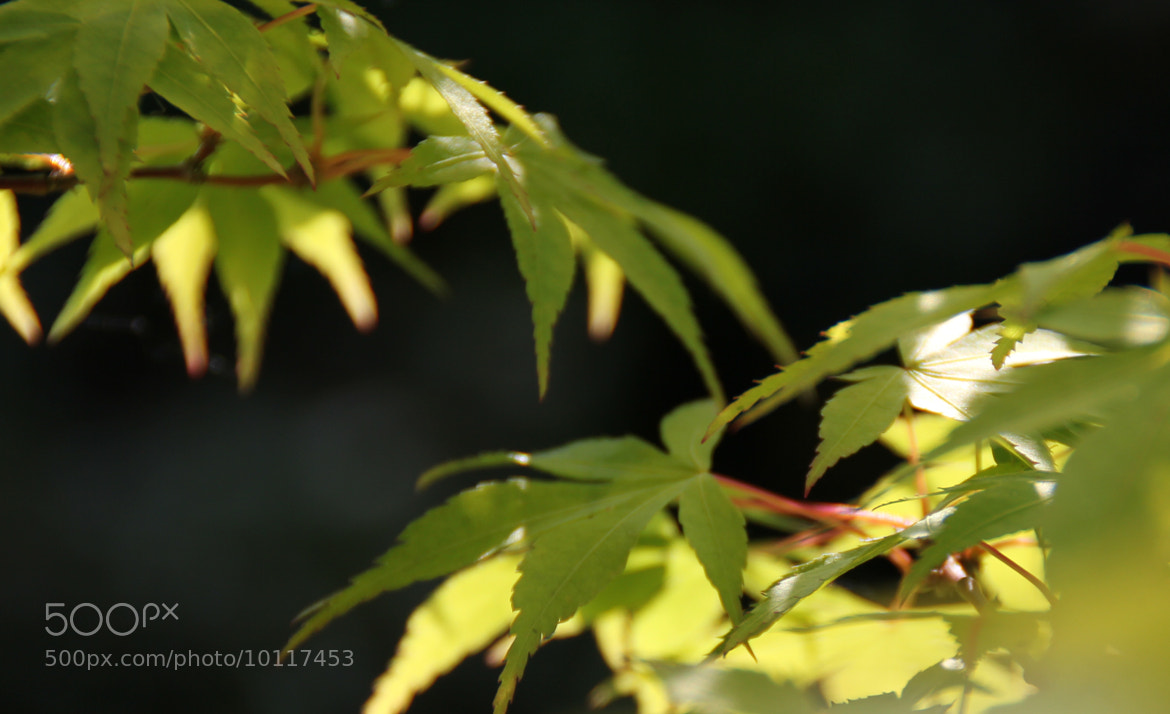 Photograph Maple shade by Janet Bennison on 500px