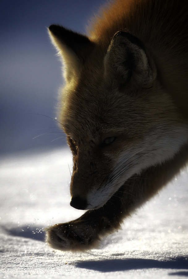 red fox by Kousuke Toyose on 500px.com