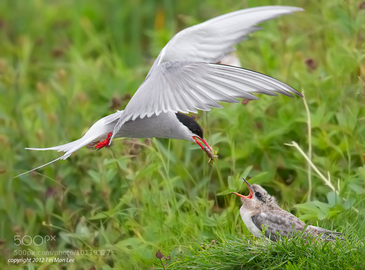 Photograph Arctic Tern Feeding the Young by Tin Man on 500px