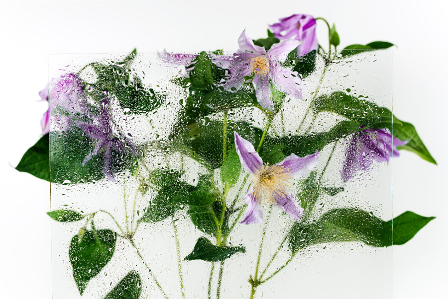 Clematis flowers shot behind the glass with water drops by Nataly Lavrenkova on 500px.com