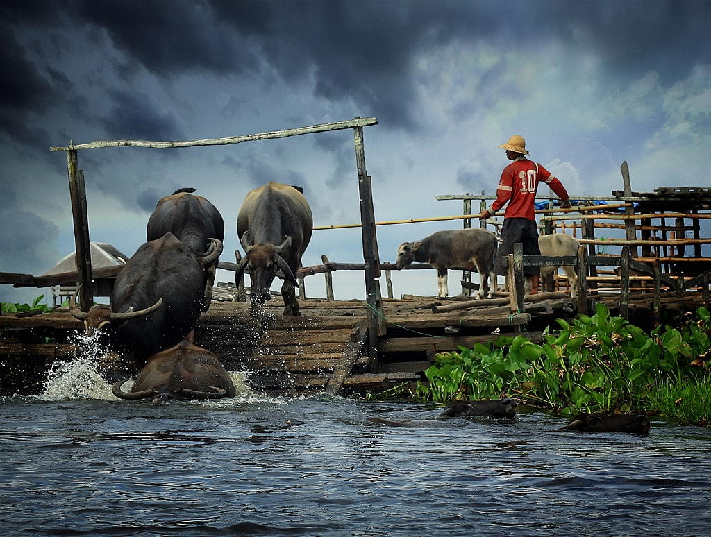 Photograph Water Buffalo by Hary Muhammad on 500px