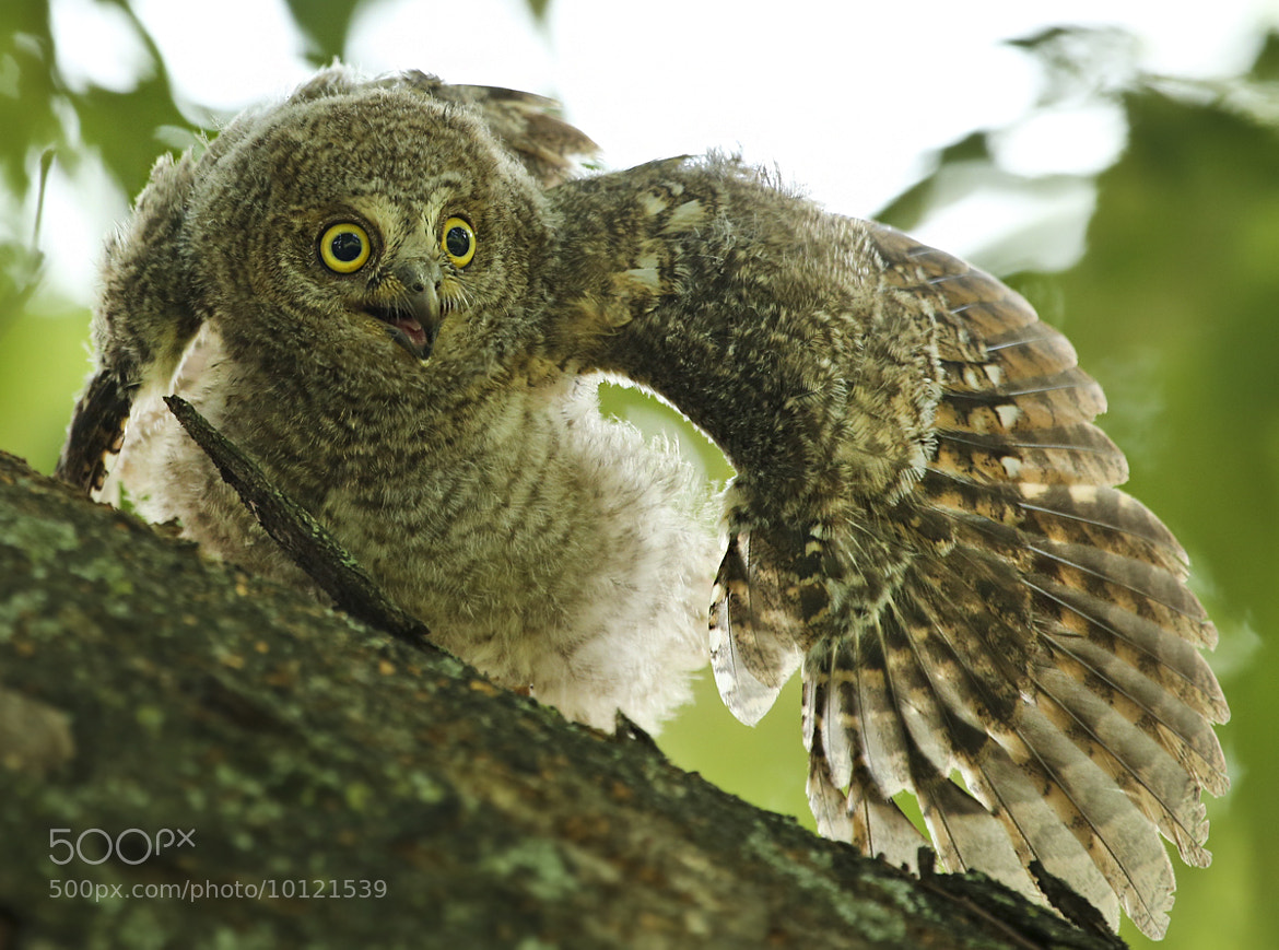 Photograph scops owl by seokyoon yoon on 500px