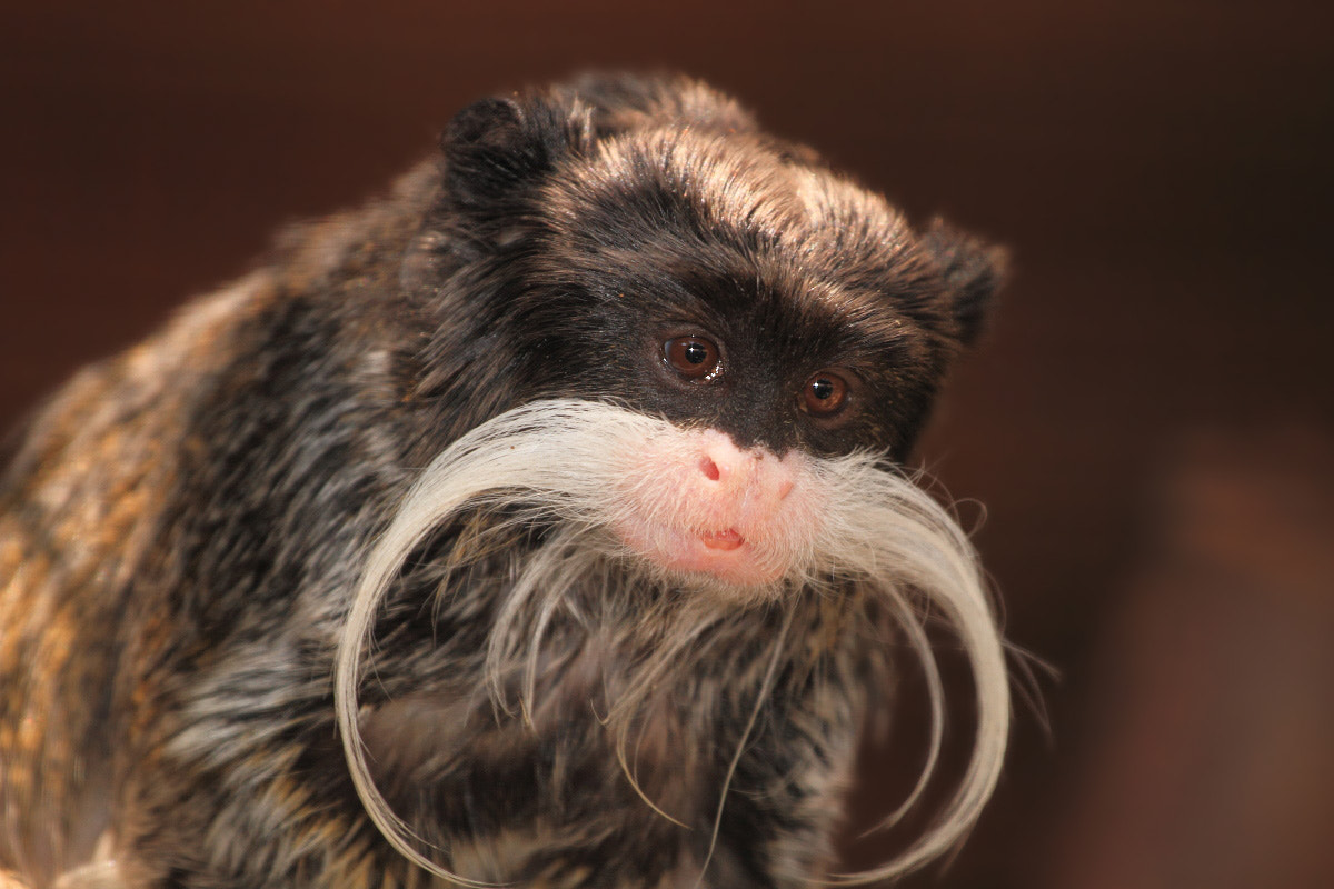 Photograph Emperor Tamarin by Yuri Gomelsky on 500px