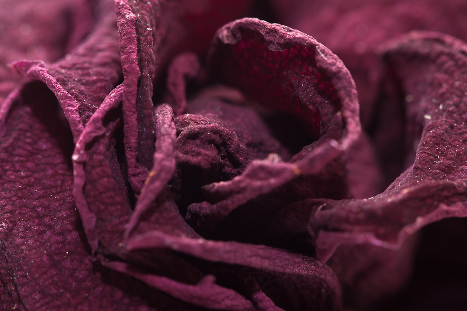 Photograph dried rose by Marion Fanieng on 500px