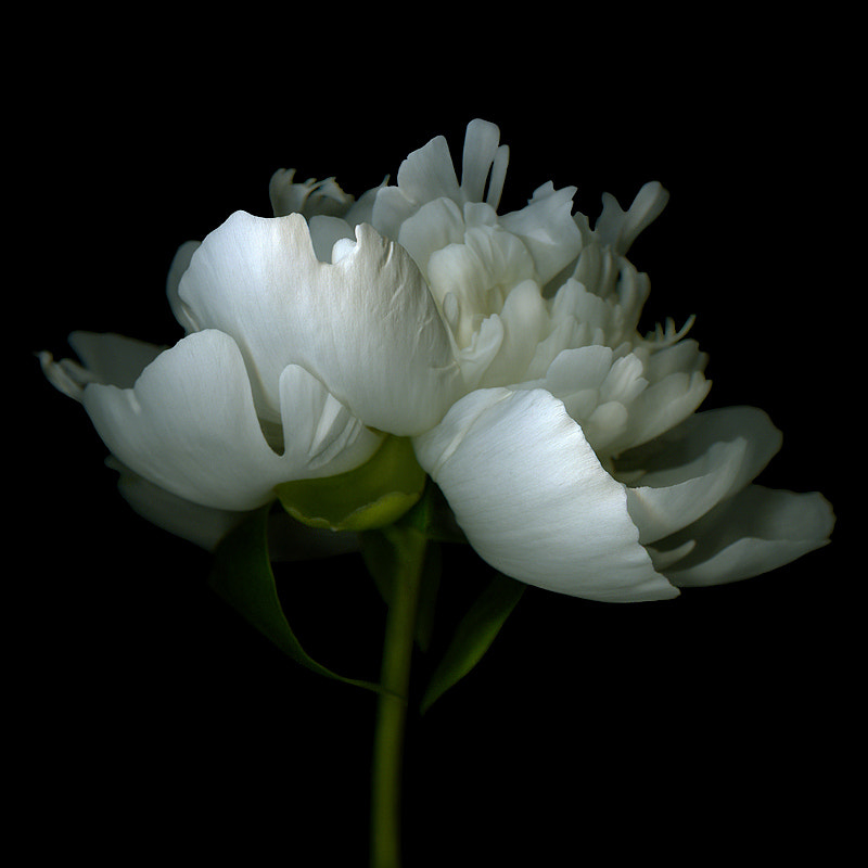 Photograph WHEN YOU'VE GOT... FLAUNT IT? A WHITE PEONY. by Magda Indigo on 500px
