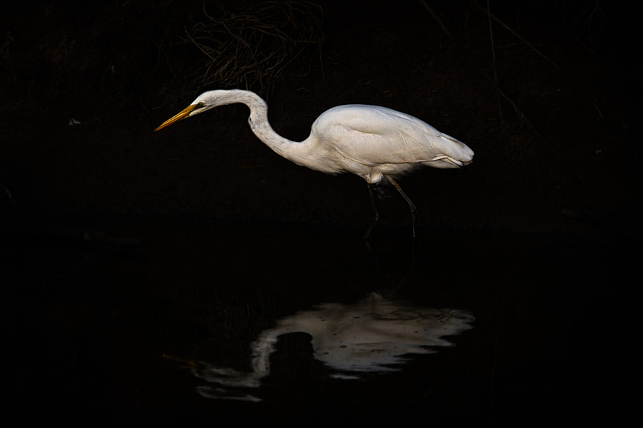 Great Egret by Paul Amyes on 500px.com