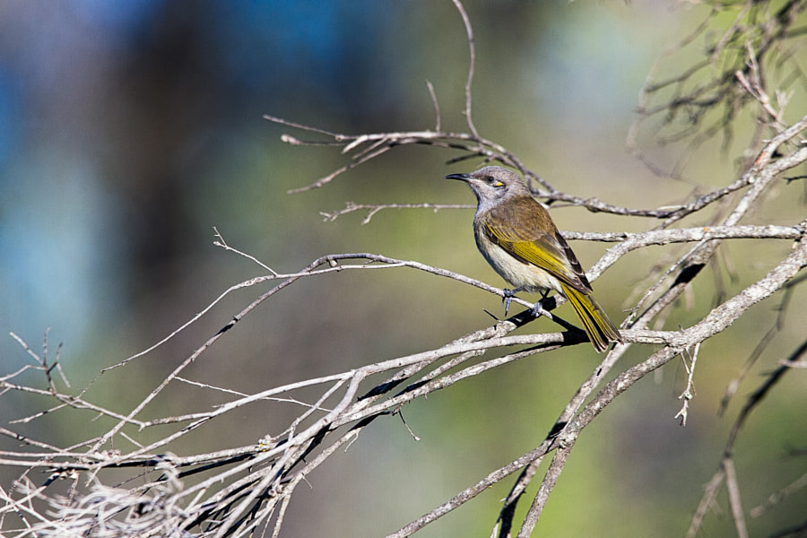 Brown Honeyeater by Paul Amyes on 500px.com