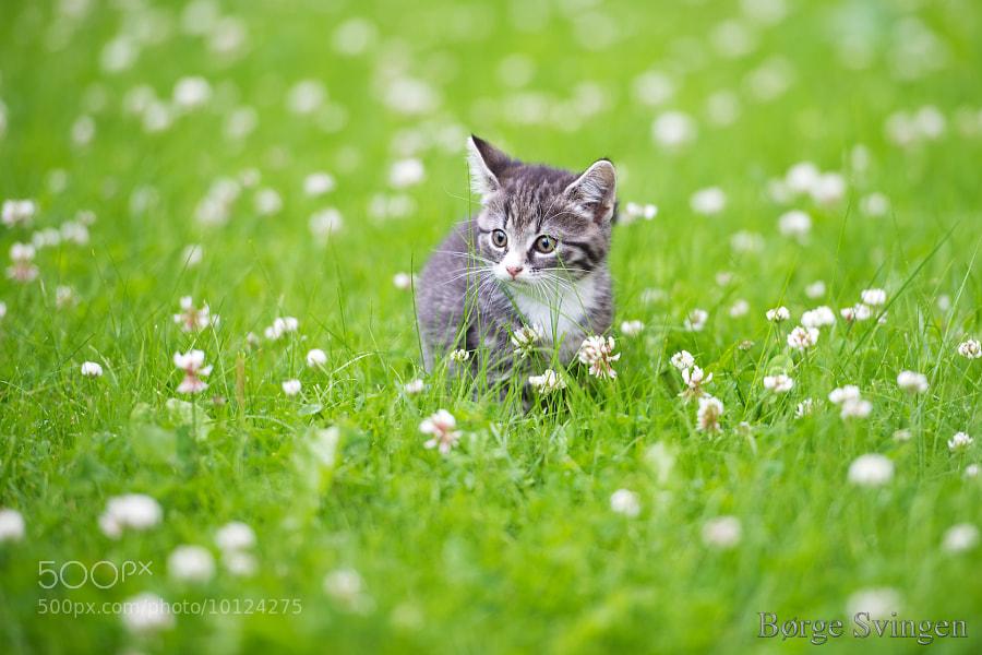 Kitten in the Clover by Børge Svingen