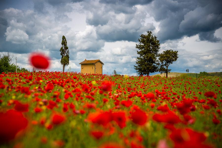 Tuscany poppies by Paweł Uchorczak on 500px.com