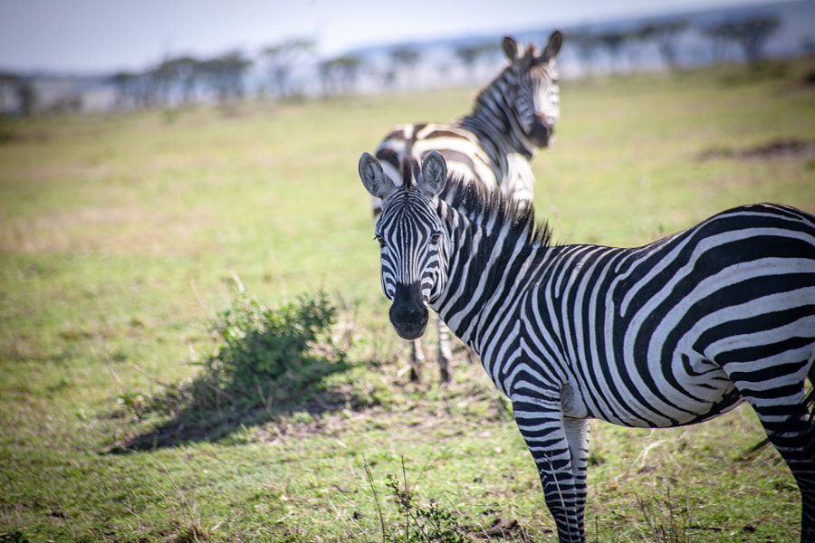 Zebra by Furqan Ali on 500px.com