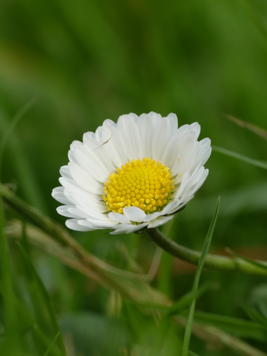 #Stay@Home :  1st daisy by Yves LE LAYO on 500px.com