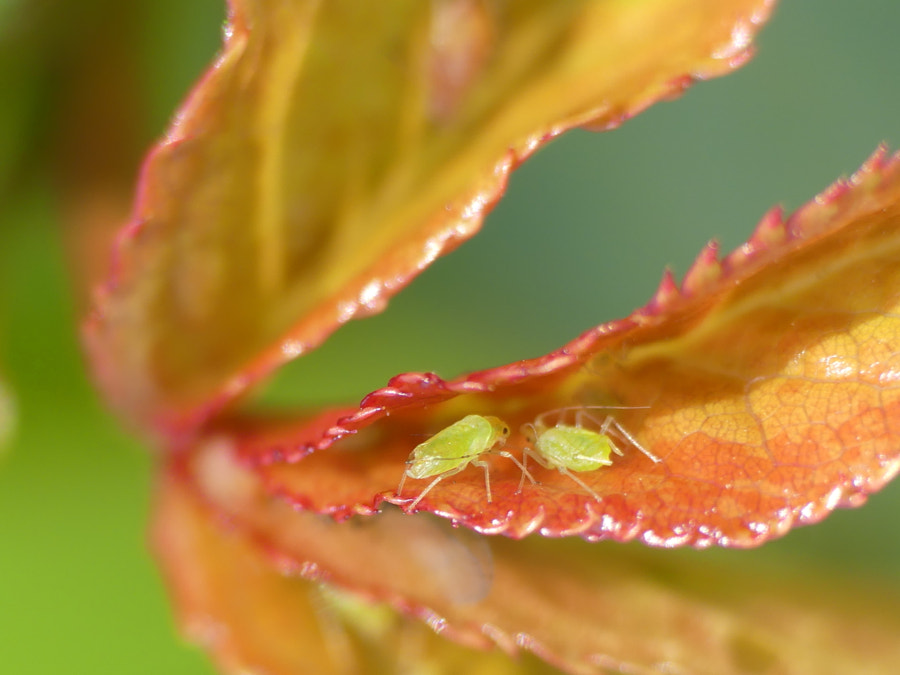 #Stay@Home : aphids chatting  by Yves LE LAYO on 500px.com