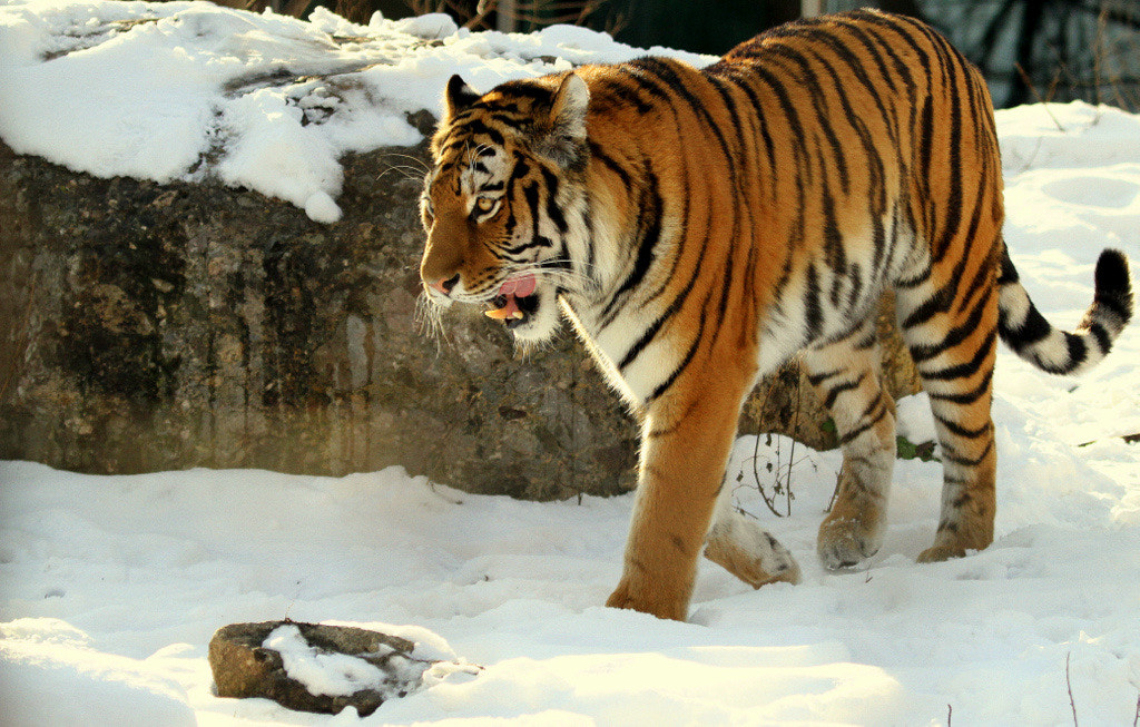 Photograph Amur Tiger walking in the snow by Rainer Leiss on 500px