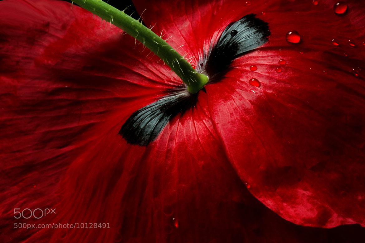 Photograph Papaver passion by Mandy Disher on 500px