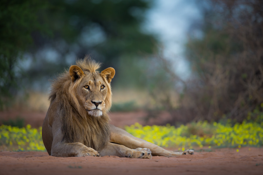 Kalahari lion on a flower bed by Christophe JOBIC on 500px.com