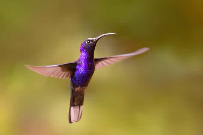 Violet Sabrewing Hummingbird (Campylopterus hemileucurus) by Roeselien Raimond