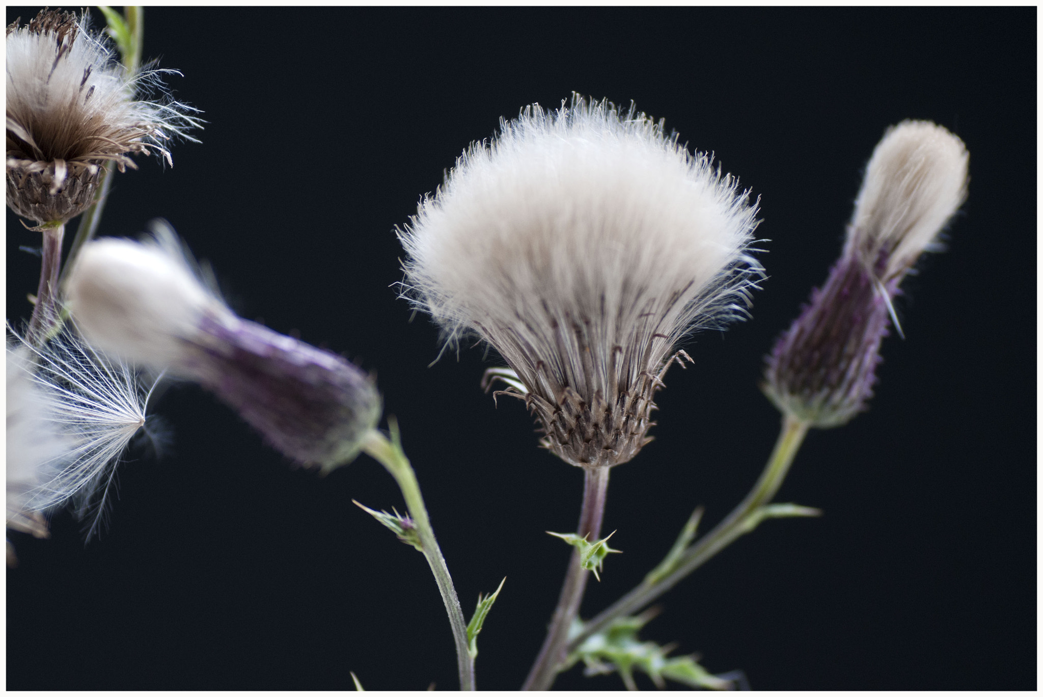 Photograph Thistle by Ruud Pothuizen on 500px