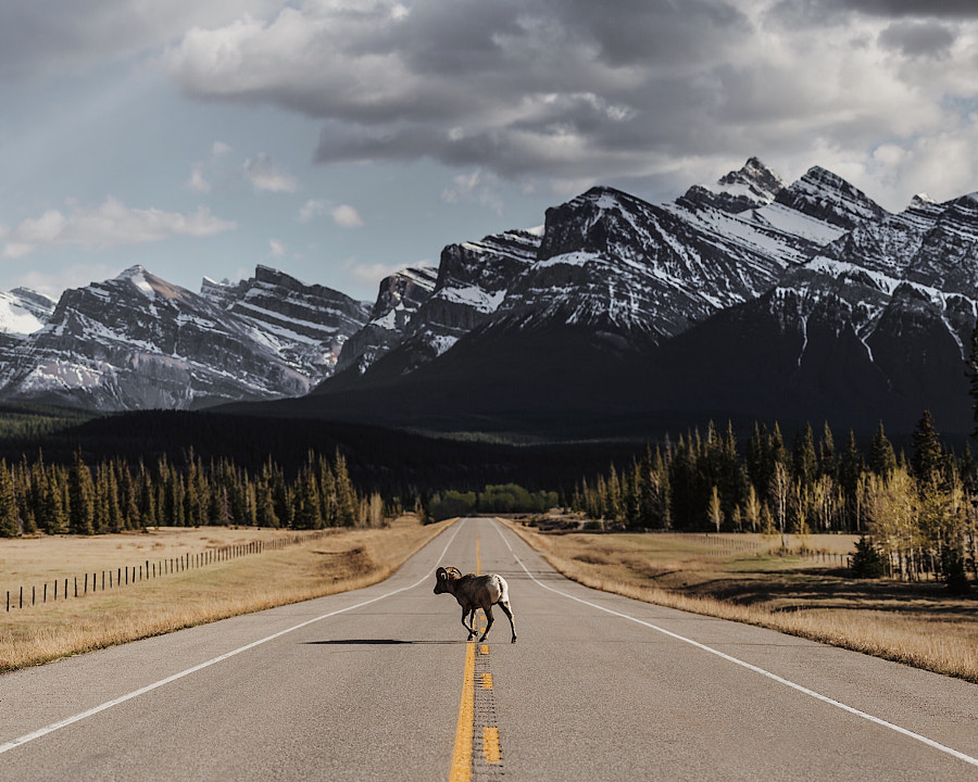 Rocky Mountain sheep.  by Tanner Wendell Stewart on 500px.com