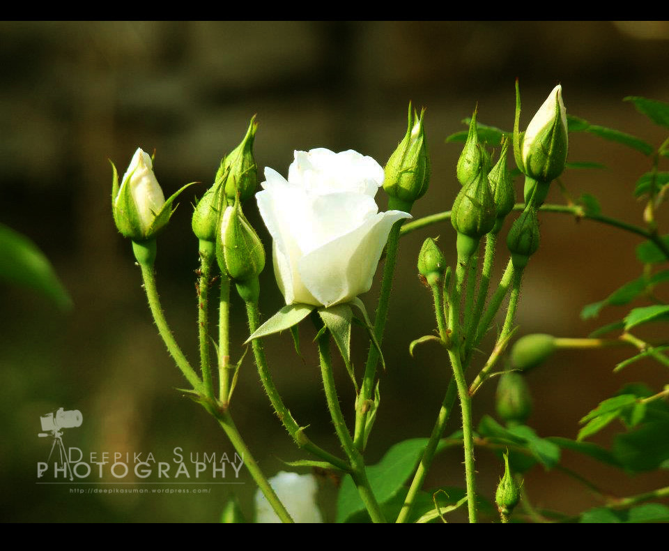 Photograph White roses, the symbol of purity! by deepika suman on 500px