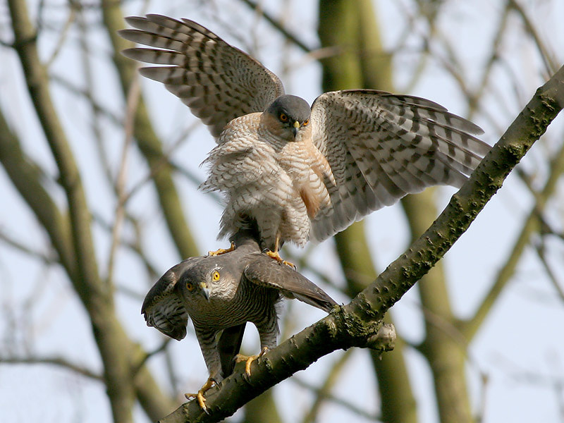Photograph Mating Sparrow Hawks 3 by Aat Bender on 500px