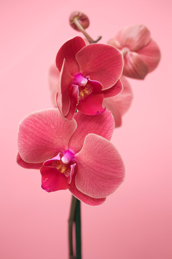 Pink orchids by Sarah Saratonina on 500px.com