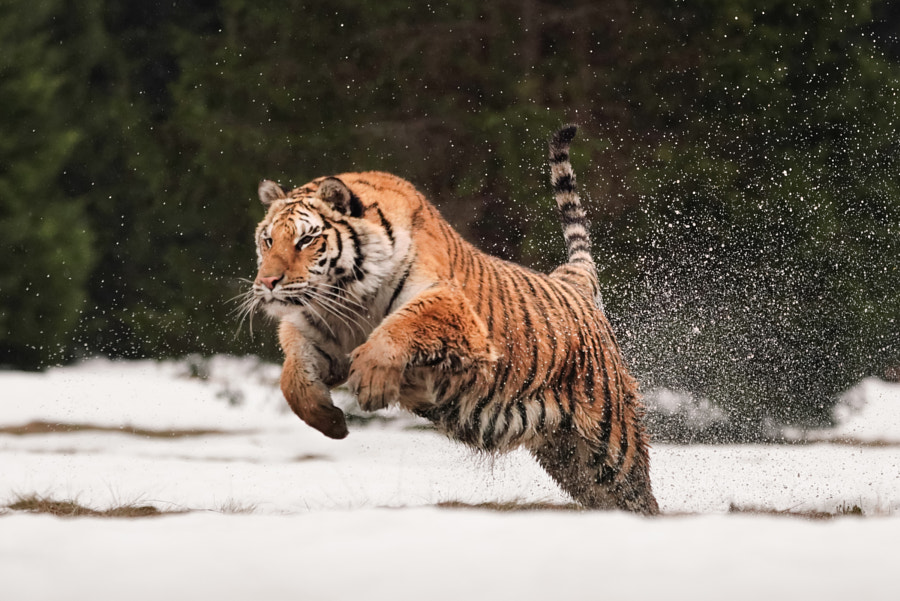 tiger in snow jumping by Stefan Wachter on 500px.com