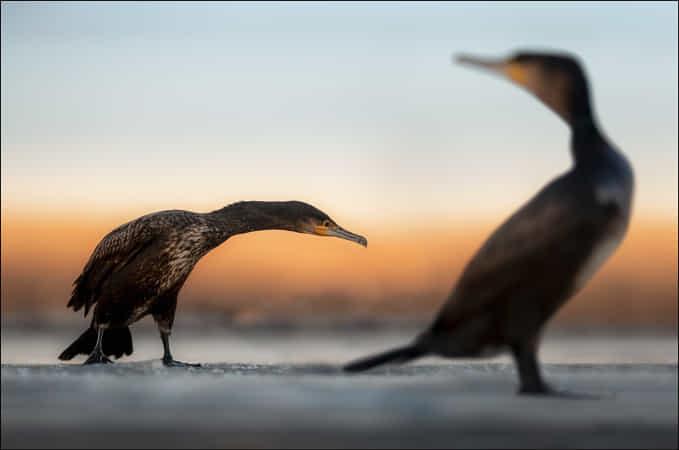 Cormorants by Georg Scharf