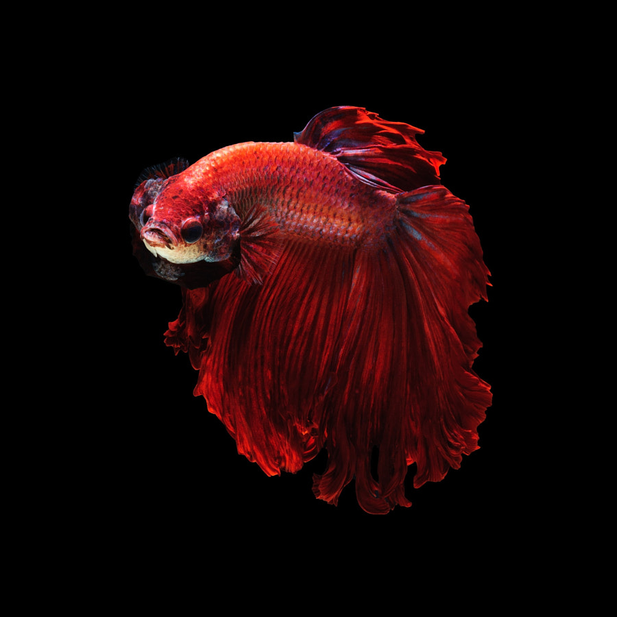 Color wheel - Red betta fish by Jirawat Plekhongthu on 500px.com