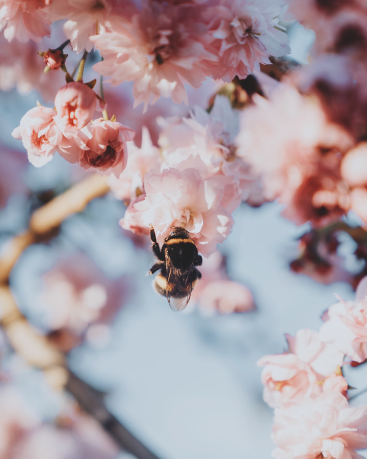 Spring Bee  by Daniel Casson on 500px.com