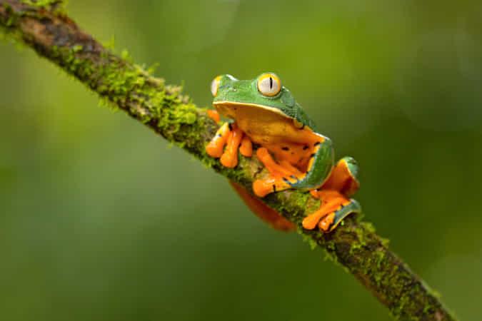Splendid Leaf Frog by Milan Zygmunt