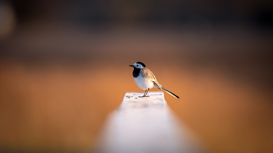 Wagtail gray. Photographer Maciej Sopel