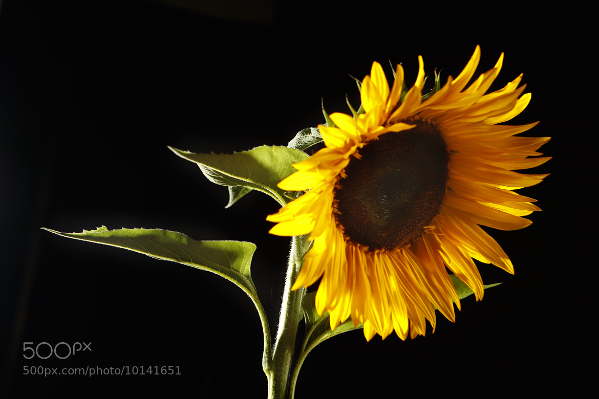 Photograph Great sunflower by Cristobal Garciaferro Rubio on 500px
