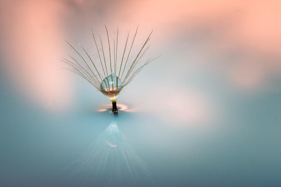 dandelion by Tom Meyer on 500px.com