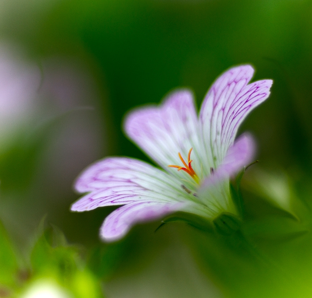 Photograph Hardy Geranium by Richard Loader on 500px