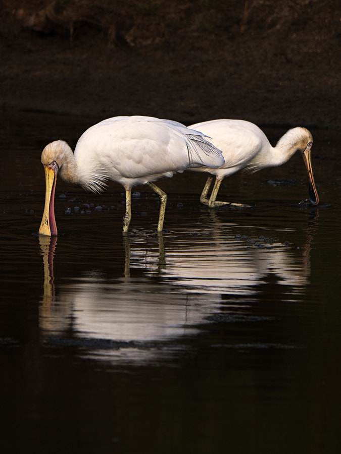 Yellow-billed Spoonbills by Paul Amyes on 500px.com
