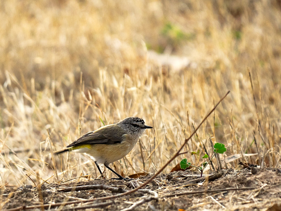 Yellow Rumped Thornbill by Paul Amyes on 500px.com