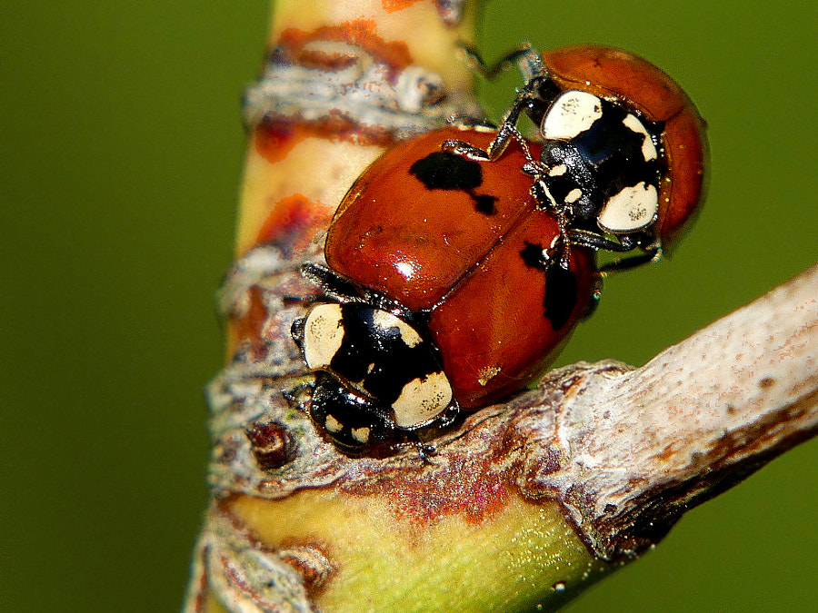 X-rated (SFW) ladybugs by Yves LE LAYO on 500px.com