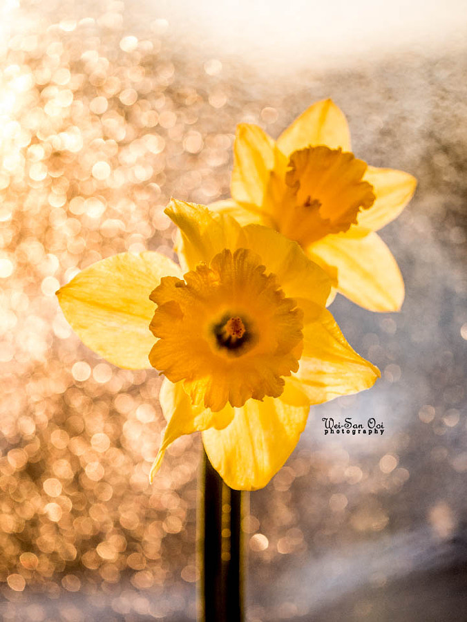 Photograph Daffodils 06 by Wei-San Ooi  on 500px