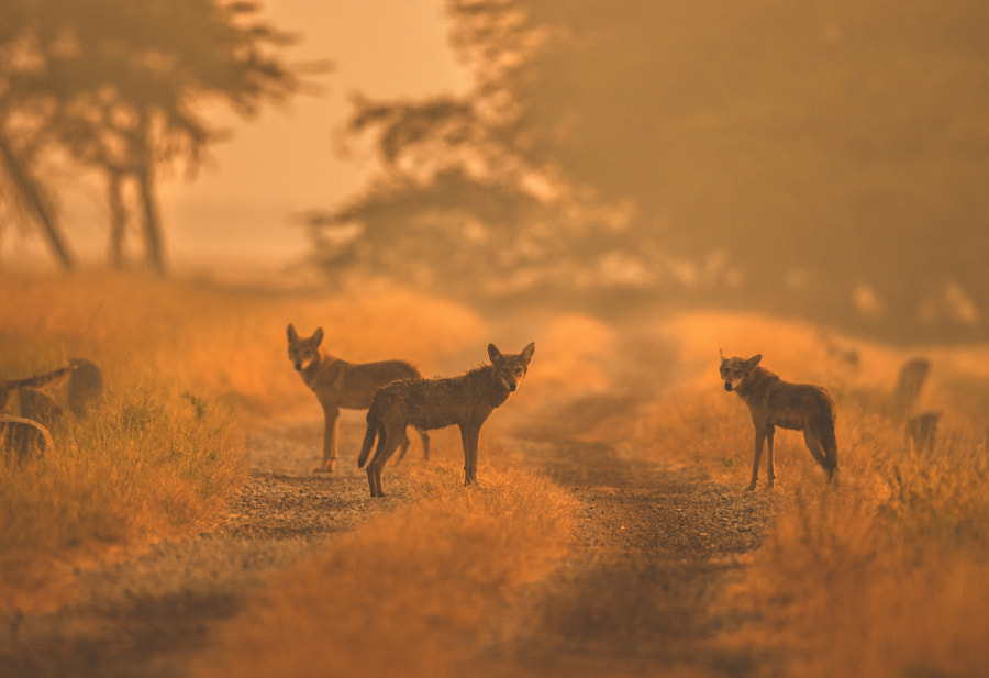 Indian Grey Wolves by Yash Darji on 500px.com
