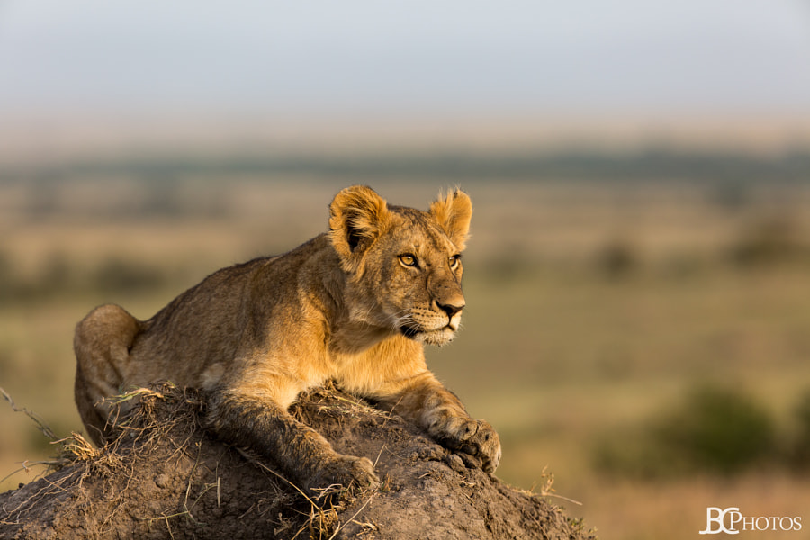 Lion cub on top of a termite mound in the Maasai Mara by James Conner on 500px.com