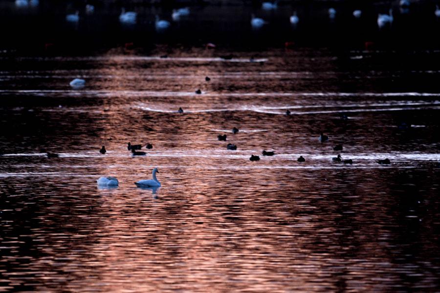 白鳥の湖 by Kousuke Toyose on 500px.com