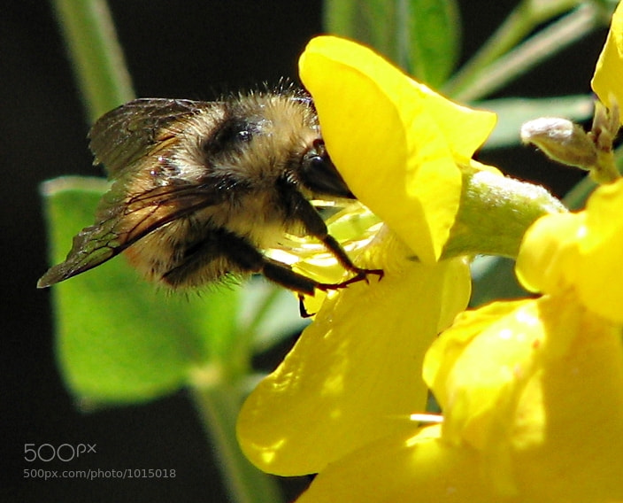 Bee making a withdrawal from a yellow wildflower in this closeup.