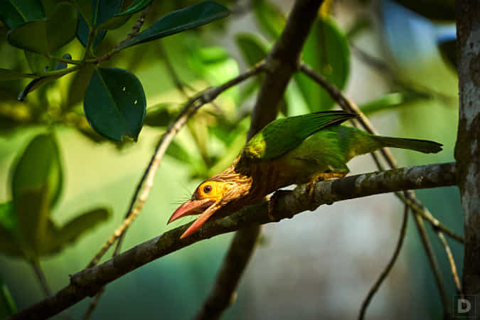 https://500px.com/photo/1015075665/Brownheaded-Barbet-by-Dinesh-J-Weerakkody