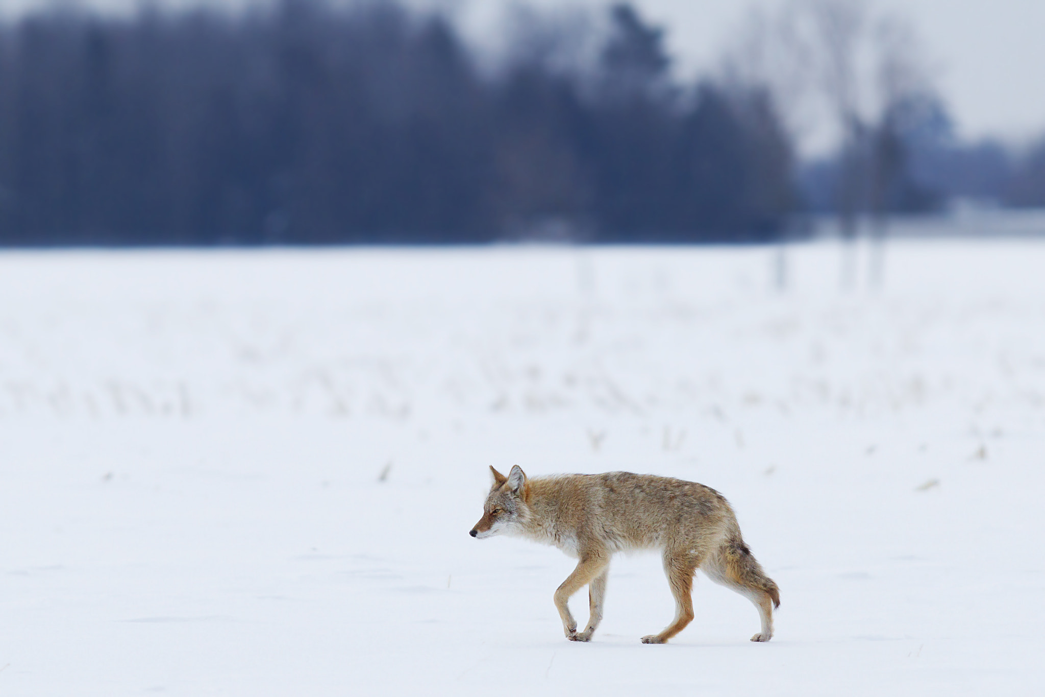 Photograph Coyote in winter by Jim Cumming on 500px