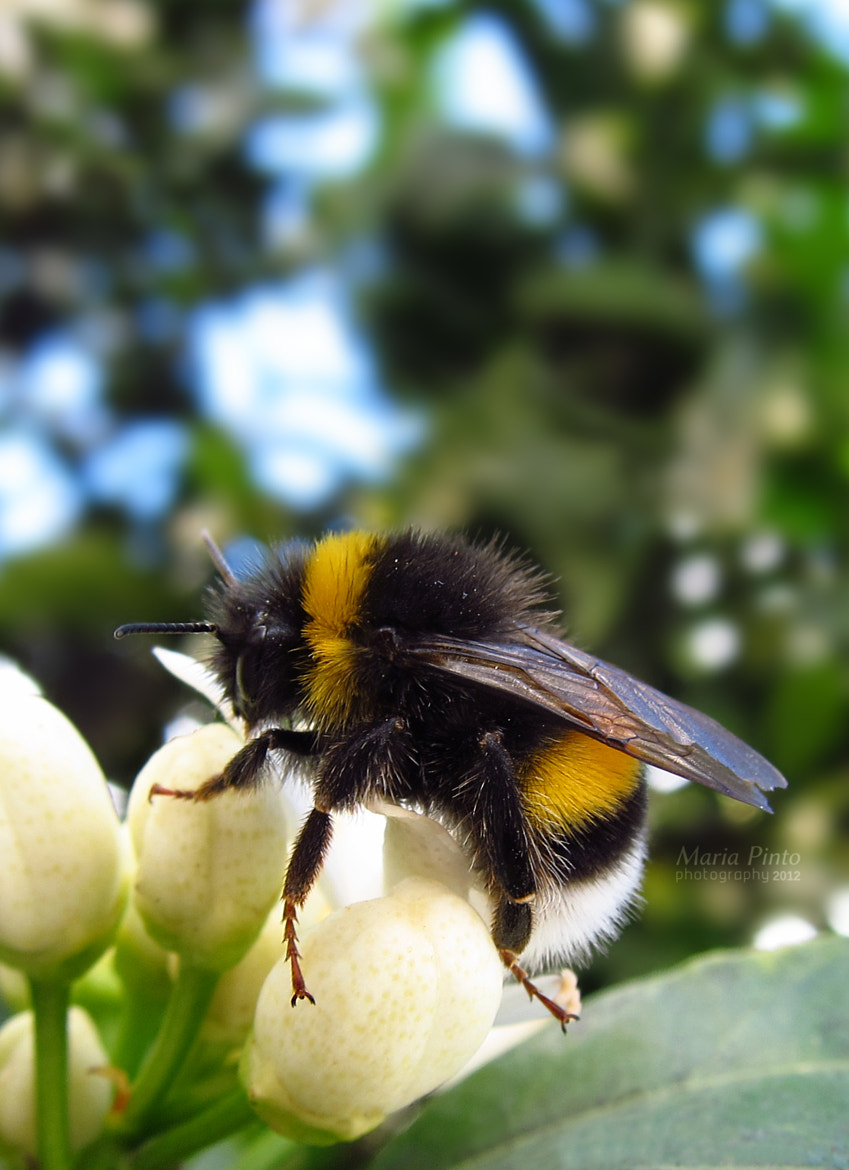 Photograph Bumblebee II by Maria Pinto on 500px